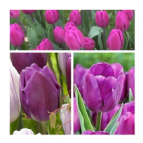 Tulip - Purple Flag
